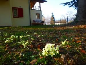 flowers_primrose5