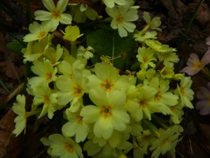 flowers_primrose7