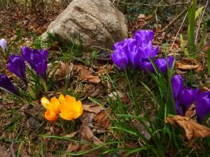 flowers_snowdrop6