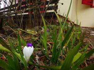 flowers_snowdrop8