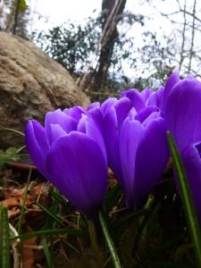 flowers_snowdrop9